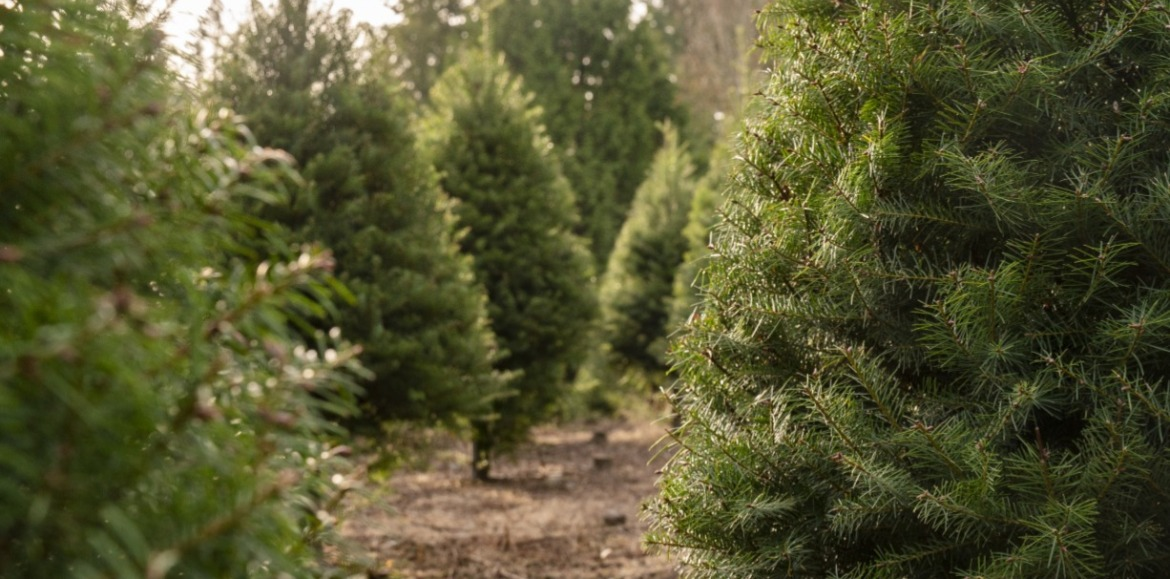Christmas tree farm | Asheville Connections