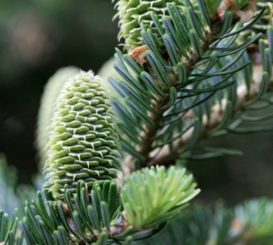 Fraser fir tree up close | Asheville Connections