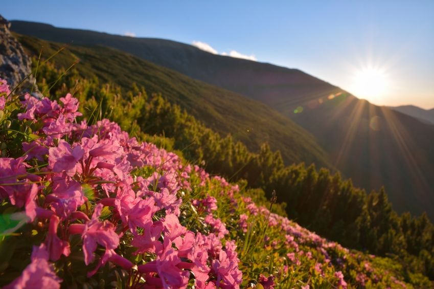 rhododendron-on-mountain