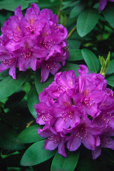 Rhododendron and Azalea Flower Show WNC